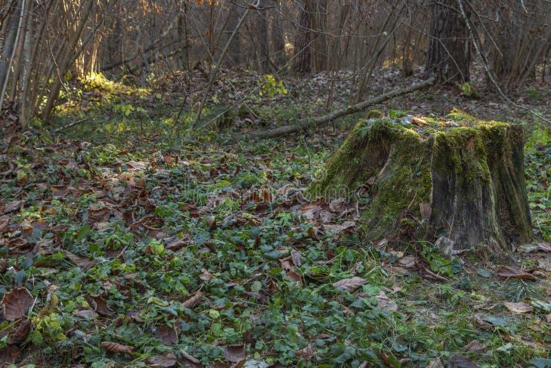Vecchio ceppo di albero coperto di muschio nella foresta di conifere, bello paesaggio La Russia fotografia stock libera da diritti
