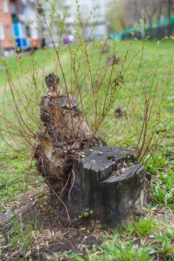 Vecchio ceppo di albero invaso con i giovani rami fra l'erba immagini stock libere da diritti