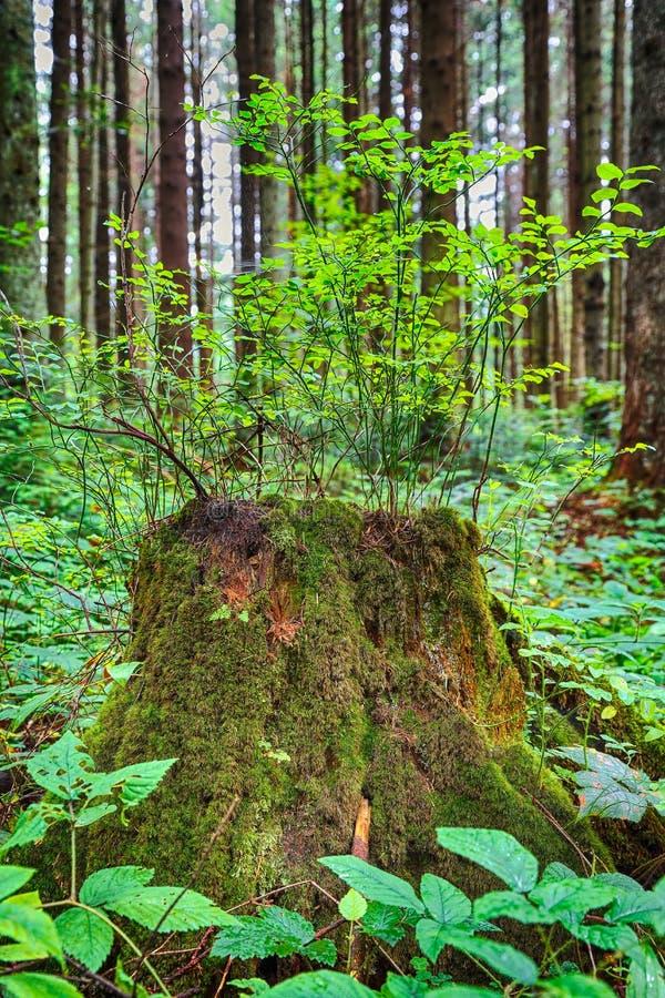 Vecchio, ceppo di albero muscoso nel verde, pavimento il più forrest soleggiato immagini stock libere da diritti