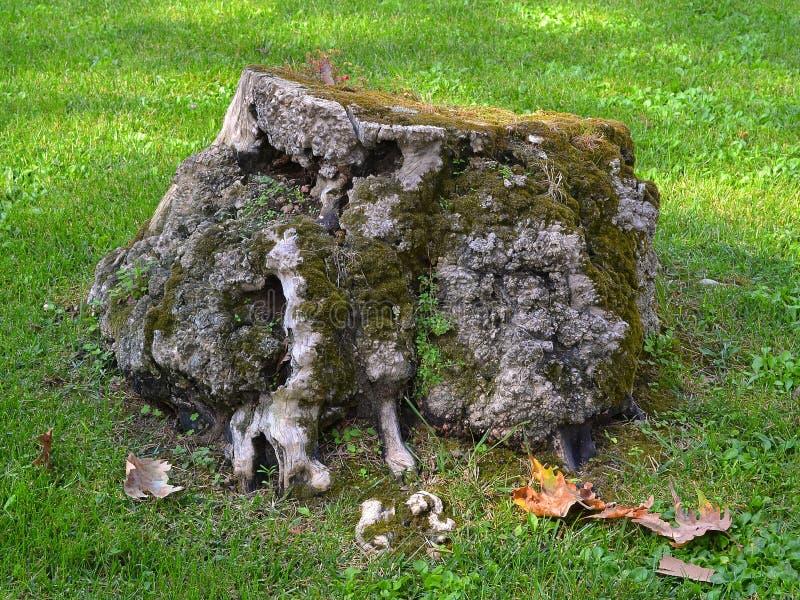 Vecchio ceppo di albero pittoresco, coperto di muschio, come elemento di architettura del pæsaggio su un prato inglese verde cutt fotografia stock libera da diritti