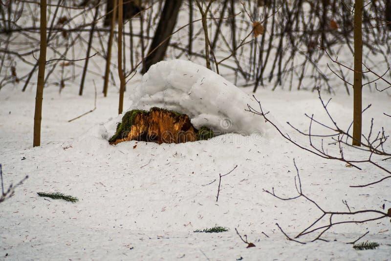 Vecchio ceppo muscoso sotto la neve febbraio fotografie stock