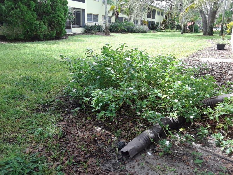 Vecchio cespuglio del fiore di Florida fotografia stock libera da diritti