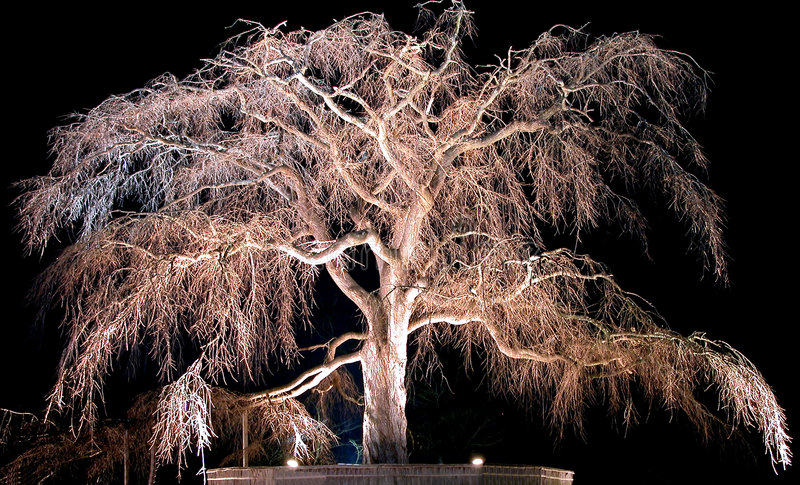 Vecchio ciliegio di notte illustrazione di stock