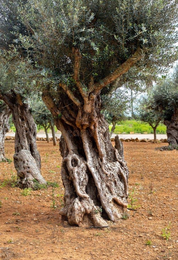 Vecchio circuito di collegamento di olivo fotografie stock libere da diritti