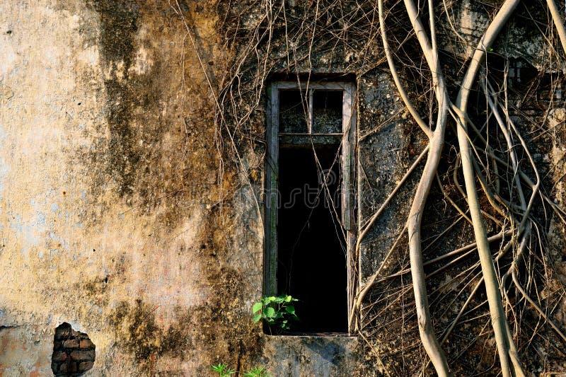 Vecchio coverd della parete della finestra di danno dalle radici baniyan dell'albero fotografia stock libera da diritti