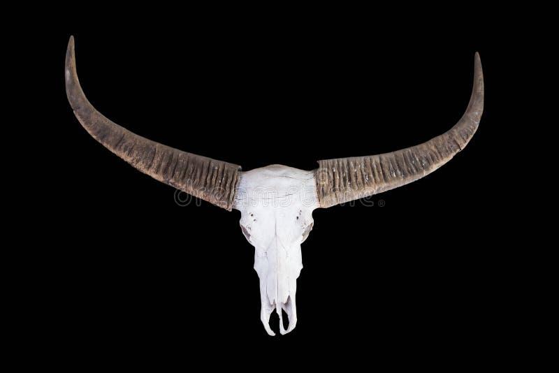 Vecchio cranio lungo del bufalo del corno fotografia stock