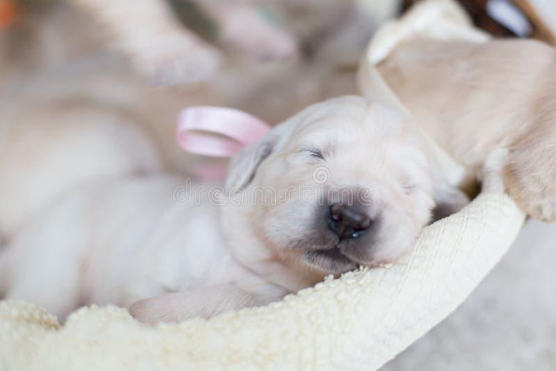 Vecchio cucciolo di golden retriever di due settimane nel canestro La neonata di golden retriever con il nastro rosa sta dormendo fotografia stock