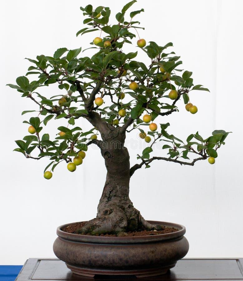 Vecchio di melo come bonsai fotografie stock