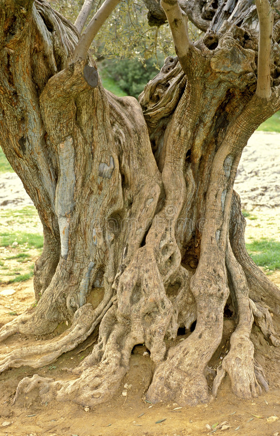 Vecchio di olivo in Francia fotografie stock