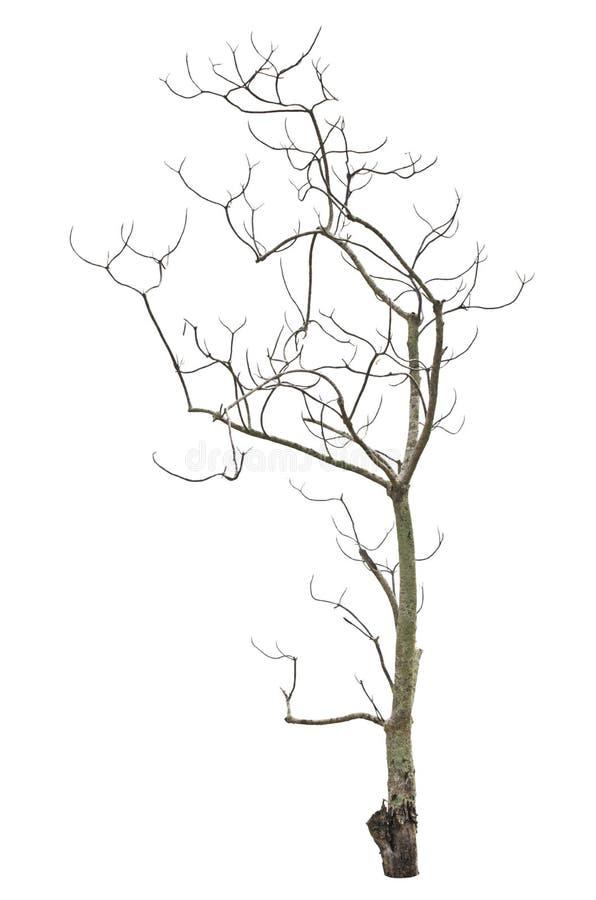 Vecchio ed albero morto. fotografie stock libere da diritti