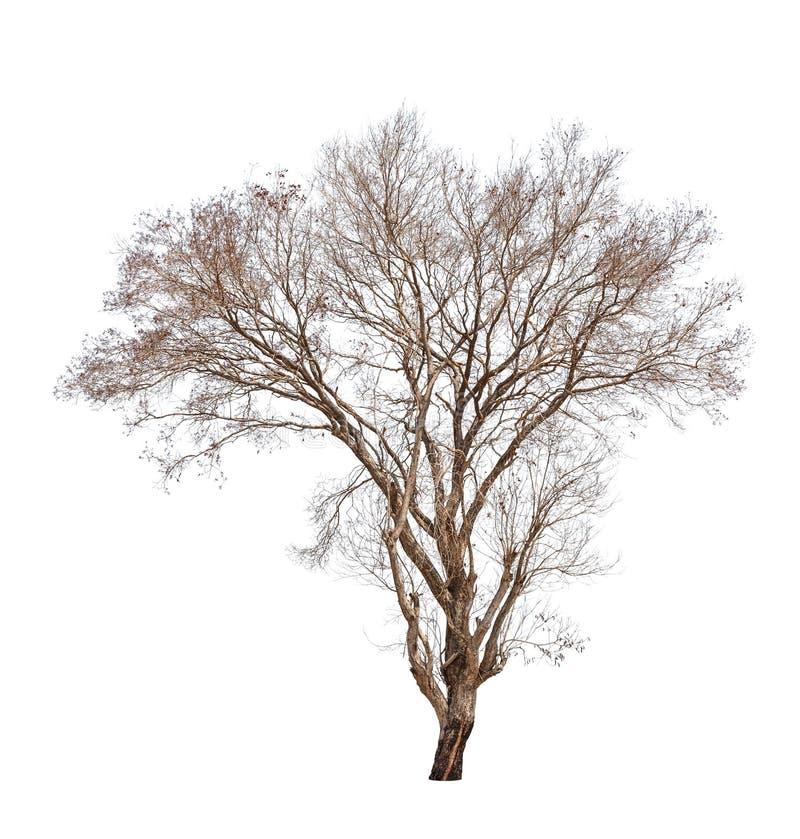 Vecchio ed albero morto fotografia stock libera da diritti