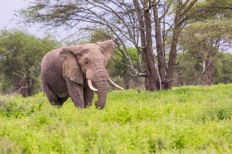 Vecchio elefante africano con un orecchio sfregiato fotografie stock