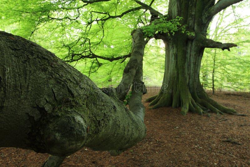 Vecchio faggio nella foresta fotografia stock