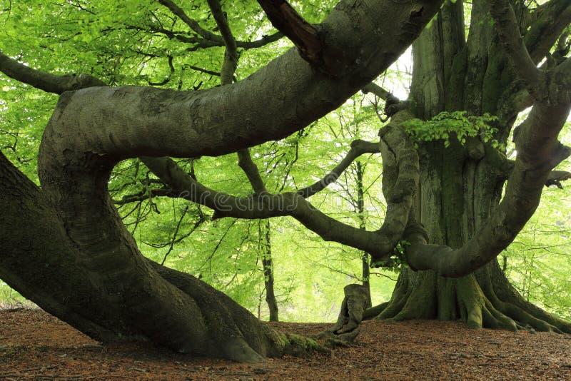 Vecchio faggio nella foresta immagine stock