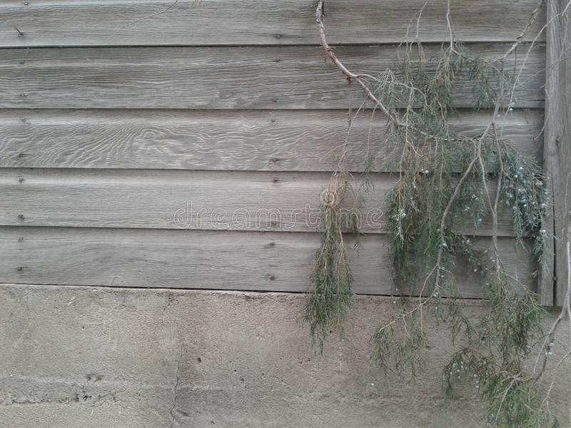 Vecchio fondo di legno grigio con il ginepro 4 di 4 immagine stock libera da diritti