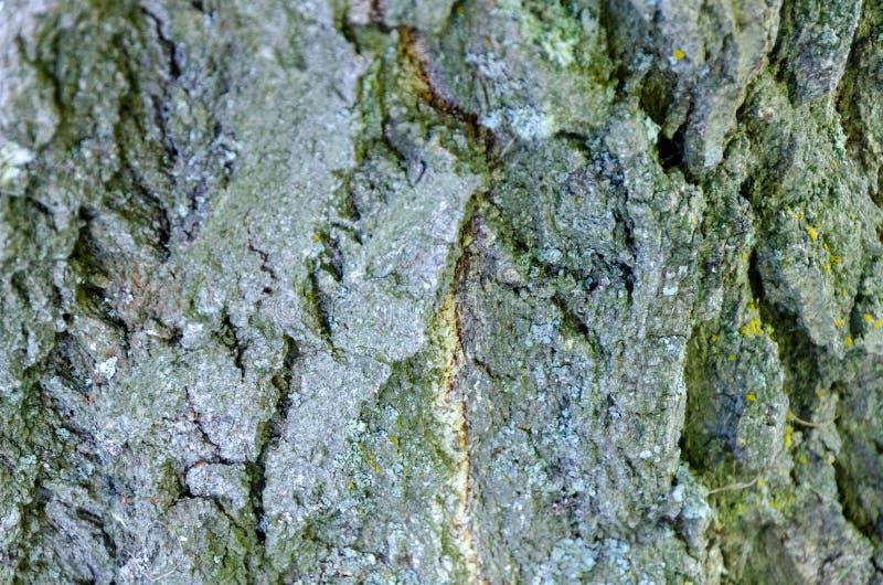 Vecchio fondo di legno di struttura dell'albero fotografia stock