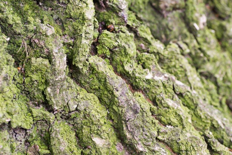 Vecchio fondo di struttura della corteccia della quercia immagini stock