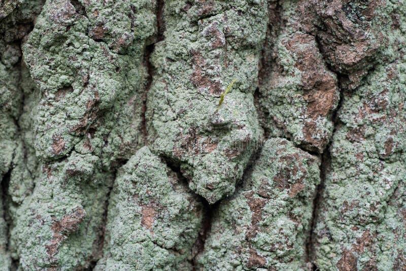 Vecchio fondo di struttura della corteccia della quercia immagine stock