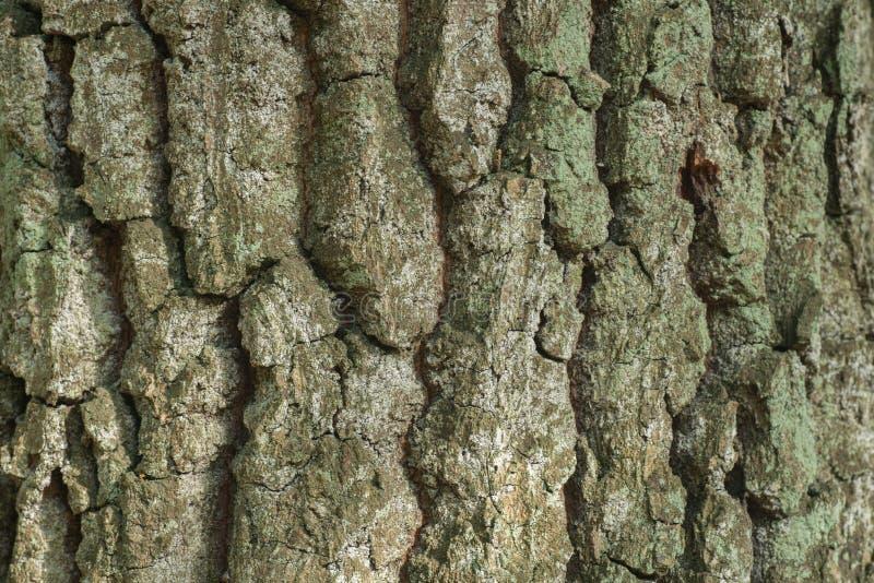 Vecchio fondo di struttura della corteccia della quercia fotografie stock libere da diritti