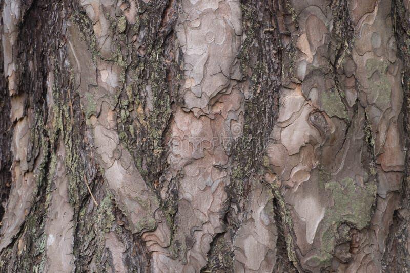 Vecchio fondo di struttura della corteccia della quercia fotografia stock