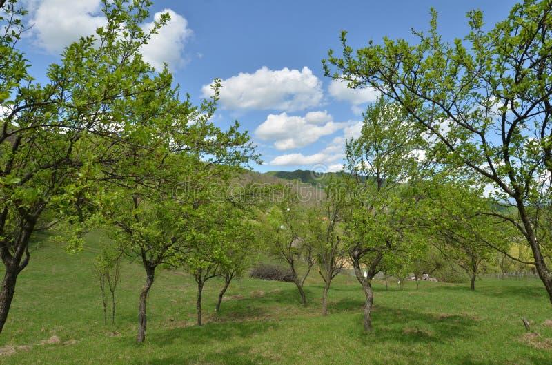 Vecchio frutteto dei susini in primavera fotografie stock