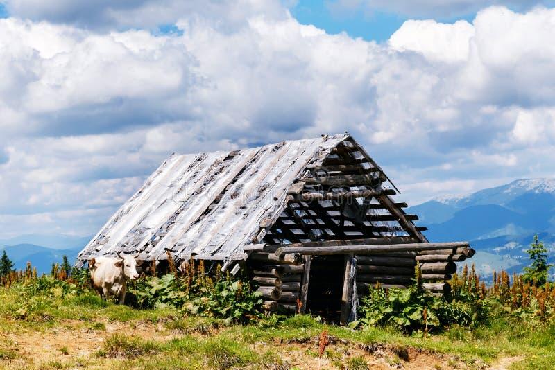 Vecchio granaio di legno rovinato nelle montagne e nella mucca fotografia stock libera da diritti