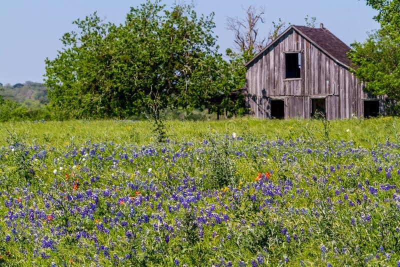 Vecchio granaio di legno in un campo ricoperto con Texas Bluebonnet Wildflowers famoso fotografia stock