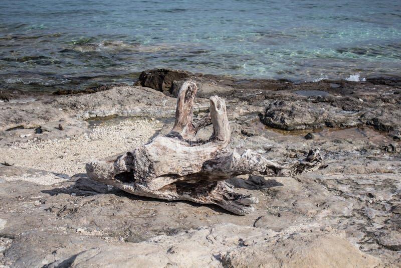 Vecchio legname o legname galleggiante morto su una costa di mare di pietra immagine stock