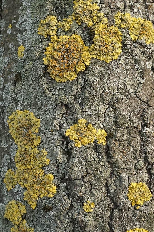 Vecchio modello di legno del fondo di struttura dell'albero con le crepe ed il fungo I precedenti di un albero con le crepe natur immagine stock