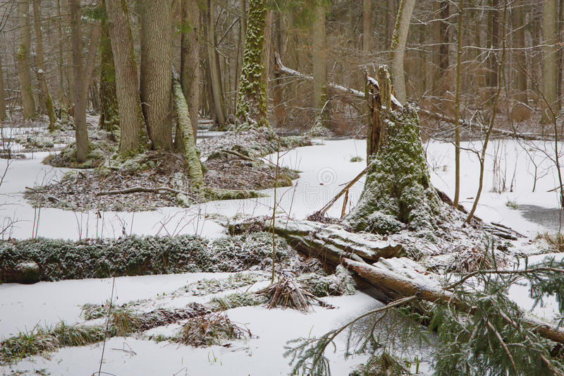 Vecchio muschio rotto dell'albero di ontano avvolto nel vecchio supporto naturale immagini stock