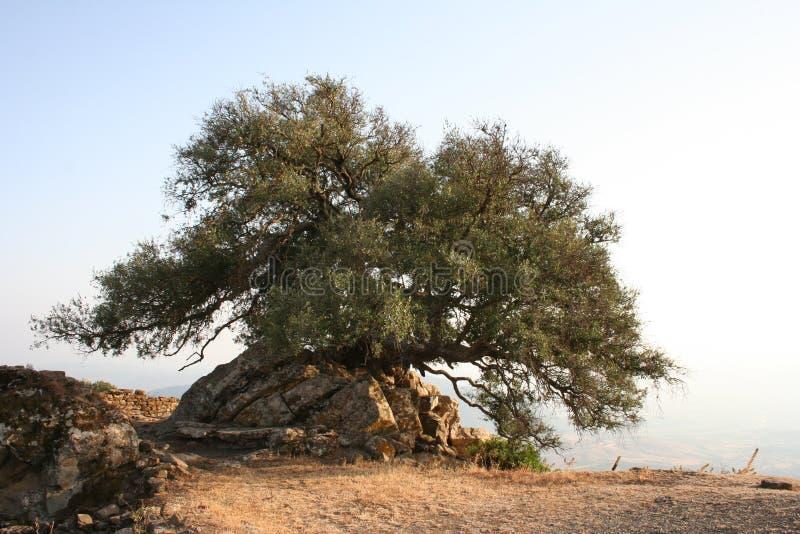 Vecchio oliva-albero immagini stock