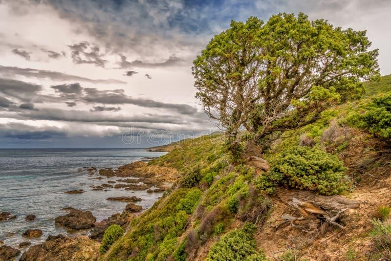 Vecchio pino torto sulla linea costiera della Corsica fotografie stock
