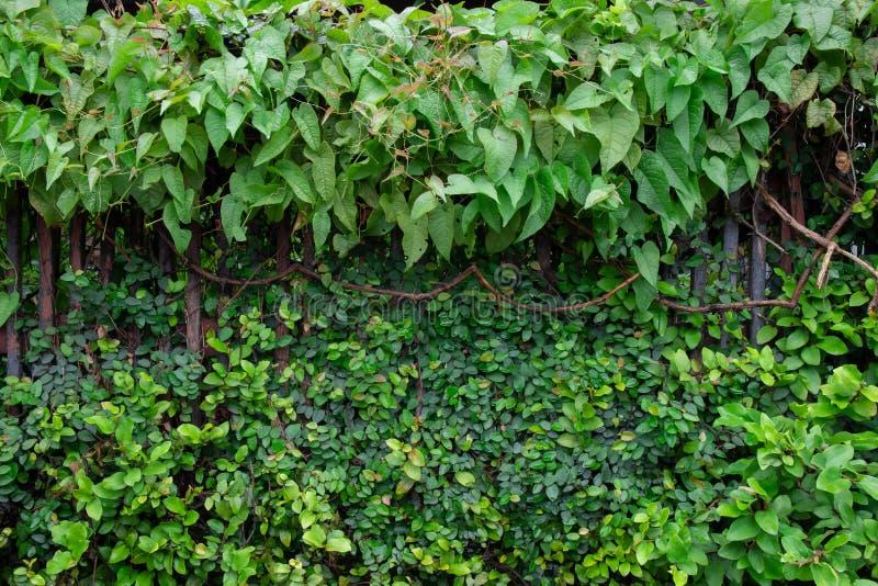 Vecchio recinto di legno con l'edera o le piante ornamentali verdi per coprire denso un giorno piovoso di mattina immagine stock