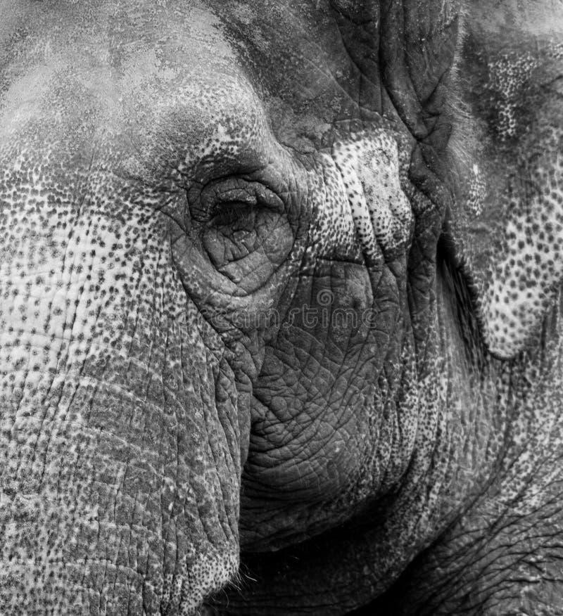 Vecchio ritratto 2 dell'elefante immagine stock