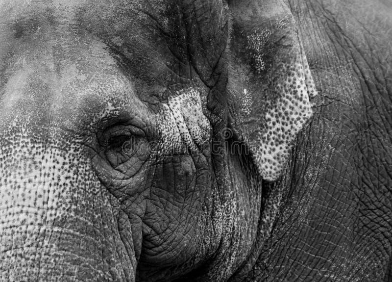 Vecchio ritratto 6 dell'elefante fotografie stock libere da diritti