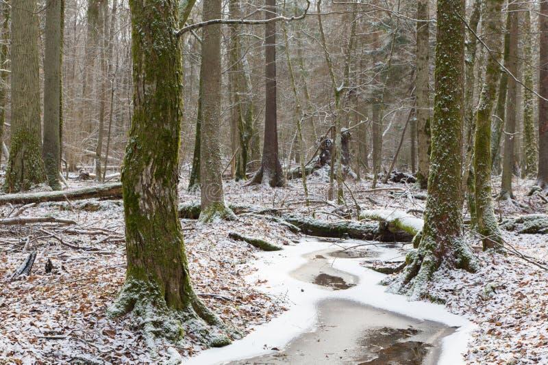 Vecchio supporto naturale della foresta di Bialowieza tramite la corrente fotografie stock libere da diritti