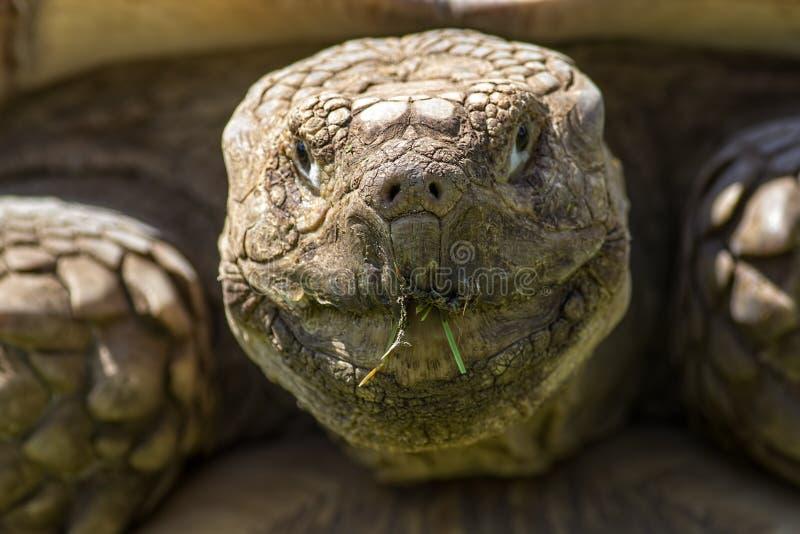 Vecchio temporizzatore Animale vivente del dinosauro Fronte corrugato incrinato del afri fotografia stock libera da diritti