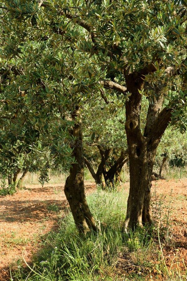 Vecchio terreno di colore rosso dell'albero fotografia stock libera da diritti