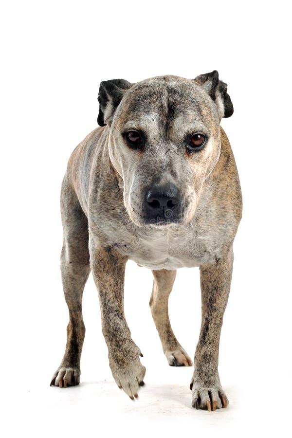 Vecchio terrier di Staffordshire americano immagine stock