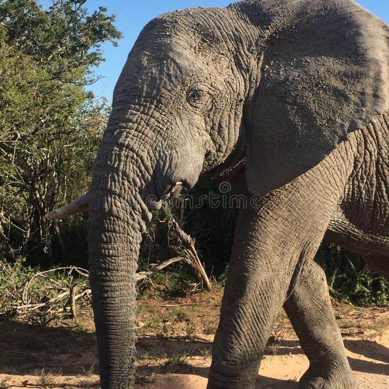 Vecchio toro dell'elefante fotografia stock libera da diritti
