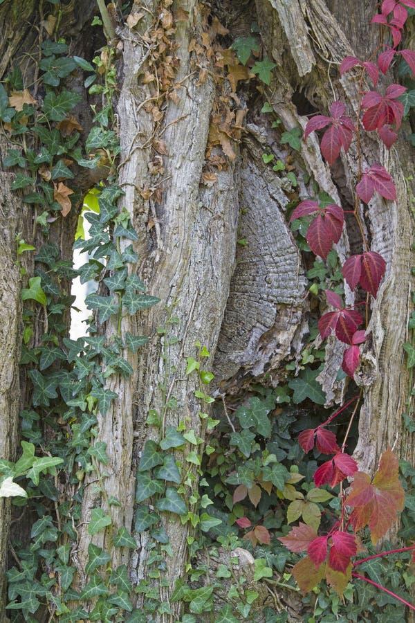 Vecchio tronco di albero potente di di olivo fotografia stock