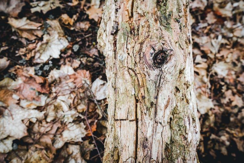 Vecchio tronco di albero rotto nella foresta fotografie stock