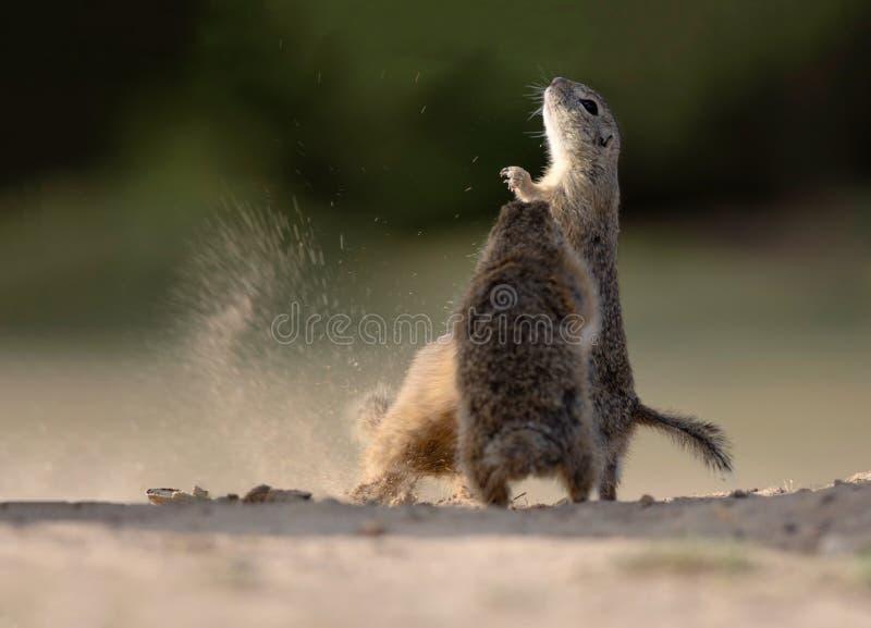 Vecht de boom kleine eekhoorn voor hun maaltijd royalty-vrije stock foto