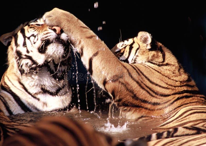 Vechtende tijgers stock foto