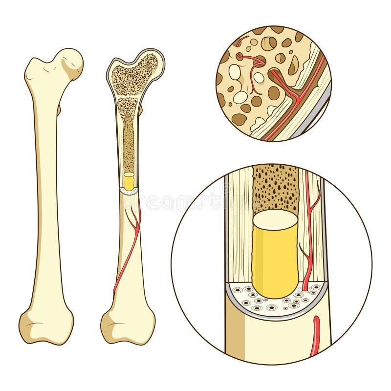 Vecteur éducatif médical de structure d'os illustration stock