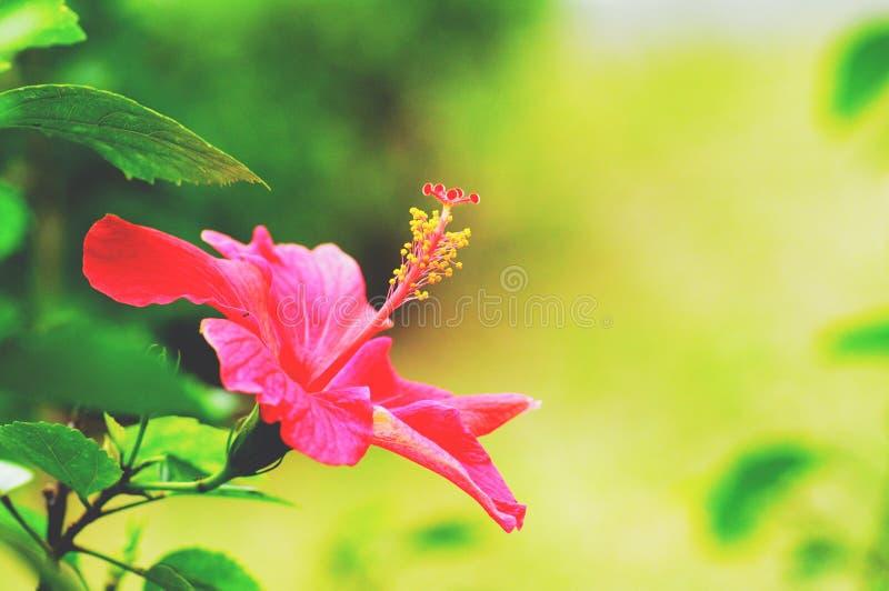 vecteur abstrait d'illustration de ketmie de fleur images stock