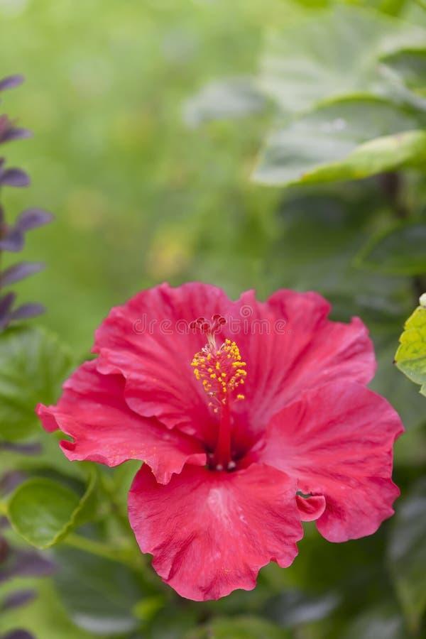 vecteur abstrait d'illustration de ketmie de fleur photos stock