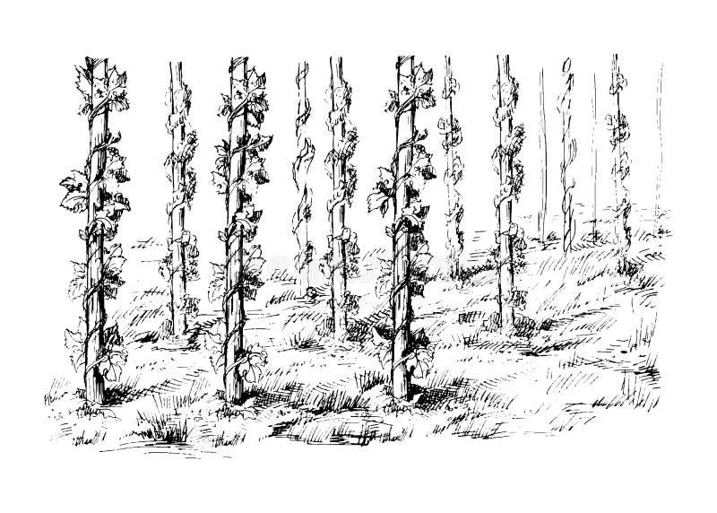 Vecteur de champ d'houblon illustration de vecteur