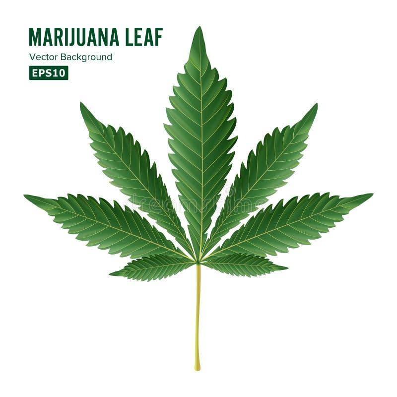 Vecteur de feuille de cannabis Cannabis vert de cannabis sativa ou feuille indica de cannabis d'isolement sur le fond blanc Plant illustration de vecteur