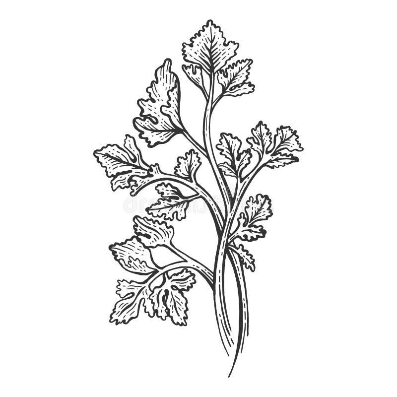 Vecteur de gravure de croquis d'herbe de persil de Cilantro illustration de vecteur